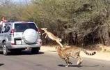 羚羊遭獵豹追擊,體內潛能爆發,縱身躍過汽車