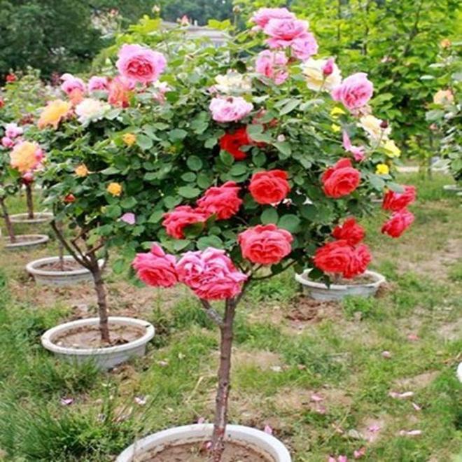 想讓自家的陽臺變成小花園?這9種爬藤,千萬別錯過,好養還漂亮