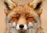 狐狸的微笑