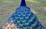 看孔雀就要看最漂亮的 看看這些孔雀怎麼樣?
