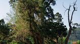 村口橋頭的千年古樹據稱是濟南最古老的一株側柏?