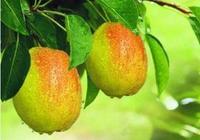 梨子可以泡酒 梨子泡酒的製作方法