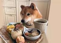 日本一柴犬陪主人吃飯的照片火遍Ins!把網友萌到老淚縱橫...