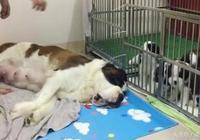 聖伯納犬媽媽知道自己該給一窩熊孩子餵奶,一臉生無可戀癱在地上
