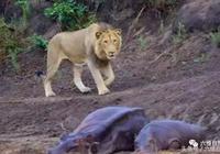 以前是母河馬保護小河馬,現在是小河馬保護母河馬驅趕雄獅