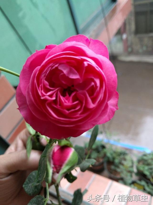 園藝師公認長得超級慢的月季品種,沒耐心暴脾氣不建議入手的月季