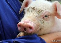 闢謠丨都說豬身上這2個部位最髒,吃多了致癌?!