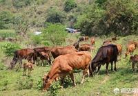 想養50頭牛,需要多少成本?該怎麼投資?