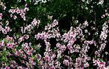 陽春三月桃花紅