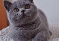 寵物貓之英國短毛貓