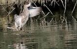 動物圖集:雲石斑鴨