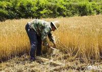 農村的麥子快熟了,提起收麥你有什麼回憶嗎?
