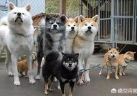 柴犬就是日本的秋田犬嗎?如何養?