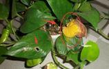 綠蘿總是爛根葉子發黃咋辦?老花農教你幾招,綠蘿打雞血一樣瘋長