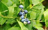 初夏藍莓物語:青島嶗山藍莓生態園