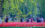 千萬不要錯過,濟南章丘植物園的鬱金香花開了