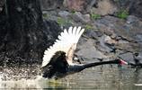 圖蟲人文攝影:飛吧,黑天鵝