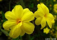盆栽迎春花這麼美,迎春花的繁殖方法