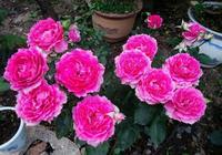 從不生病的月季品種,香味濃還沒有刺,花開就爆盆,很值得入手