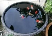 用陶瓷缸進行古法養魚水質總是混濁原因在哪,如何處理為好?