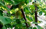 梅子金黃杏子肥