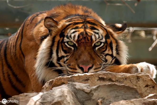 老虎一生3次劫難,25%老虎活不過20年,全球野虎已不足4000只