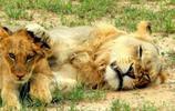 大獅子管教小獅子,上去就是一巴掌