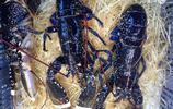 海洋生物——龍蝦