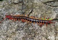 農村裡老人都說蜈蚣可以剋制蛇,它能打過蛇嗎?