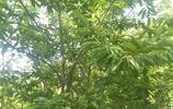 板栗之鄉的板栗開花有大用處