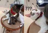 虎斑貓把同伴當坐墊,白喵一臉黑人問號:難道我好欺負?