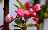 含苞待放海棠花