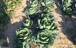 西北農家小院,種滿了各種蔬菜,城裡人吃不到的天然綠色無汙食品
