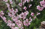 冰雹過後,桃花依舊