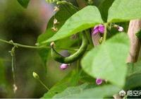 農民小菜園裡剛出苗的豆角,葉子就捲縮著是什麼原因造成的?