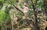 雲南深山有株千年神樹,形似烏龜頭朝寺廟,像不像龍的兒子霸下?