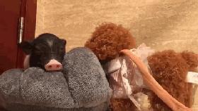 迷你豬一年長到200斤,主人崩潰!豬場:這是烤乳豬品種,好吃!