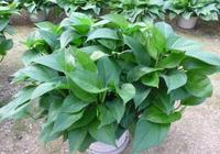 福建王大爺養綠蘿,只用這2種水,半年養出60多盆,葉片油綠茂盛