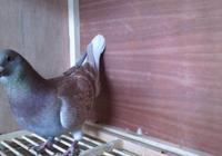 鴿舍問題是很多養鴿人失敗的原因