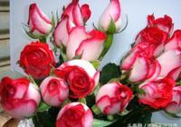 切花月季玫瑰你喜歡嗎