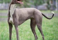 世界名犬——靈緹(格力犬、格雷伊犬、灰狗、意大利靈緹)