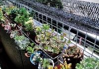 夏季多肉植物在陽臺上怎麼養才不會被晒傷、晒死?