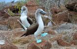 """此鳥天生藍爪無鼻孔被譽為""""最呆萌的鳥"""",受國家二級保護!"""