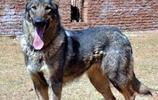 昆明犬——公安部昆明警犬基地自行培育的優秀犬種,天生的工作犬