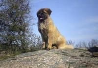 中國最古老的犬種,守山犬