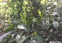 茶樹種植後幾年可以採摘茶葉了?一般能採收多少年?