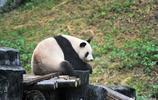 """旅居南京五年,大熊貓""""朝陽""""""""浩浩""""即將返川"""