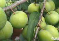 四川種的土李子和普通李子有什麼區別?