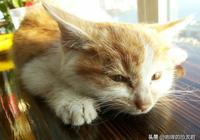 女孩收養了只流浪貓,相貌醜陋還是獨耳,現今恢復真容令人心動