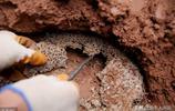 成精了?四川一堤壩挖出78窩白蟻,最大蟻齡30歲,43對蟻王蟻后